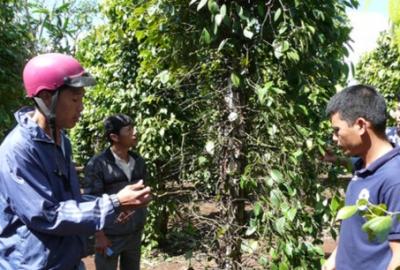 Hiệp hội Hồ tiêu Việt Nam sẽ cùng Bộ Nông nghiệp PTNT triển khai xây dựng mô hình thí điểm sản xuất Hồ tiêu an toàn, bền vững